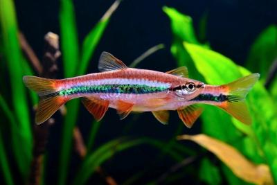 Rasbora patrickyapi Cyprinidae