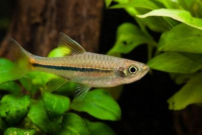 Rasbora sarawakensis Cyprinidae