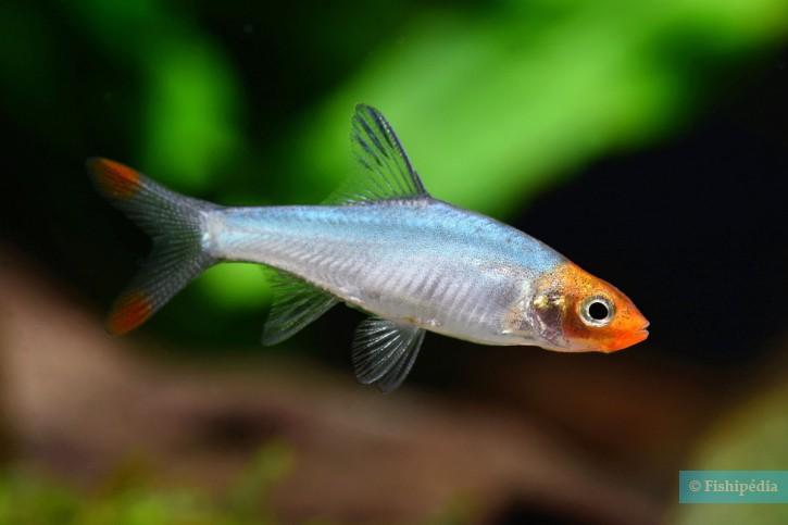 Sawbwa resplendens - nez rouge asiatique