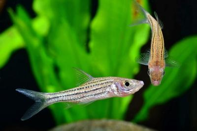 Striuntius lineatus Cyprinidae