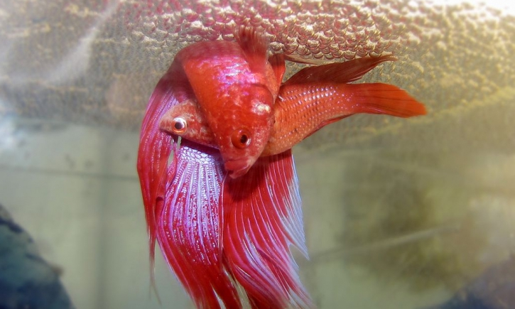 Reproduction Betta splendens - Nid de bulles