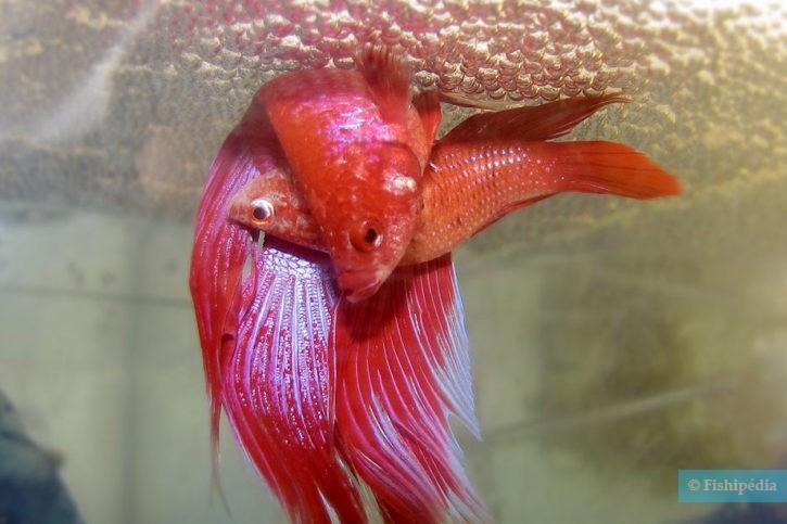 Reproduction Betta splendens - Nid de bulles