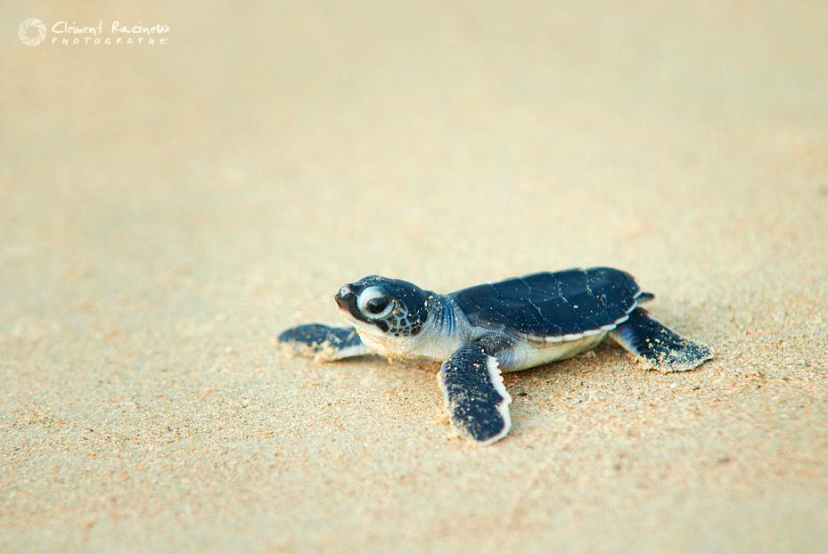 Bébé tortue © Clément Racineux