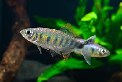 Barilius canarensis Cyprinidae