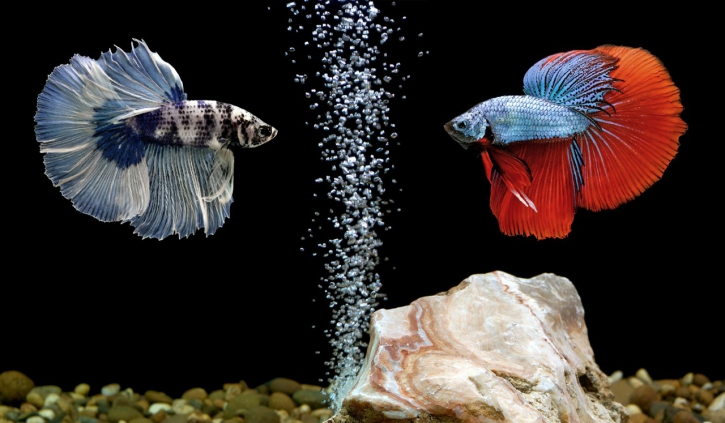 Confrontation de Betta splendens