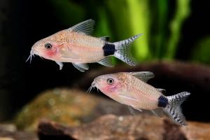Corydoras guapore - poisson de fond ? Fiche Poisson