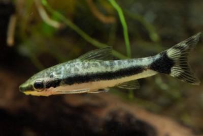 Otocinclus hoppei Loricariidae