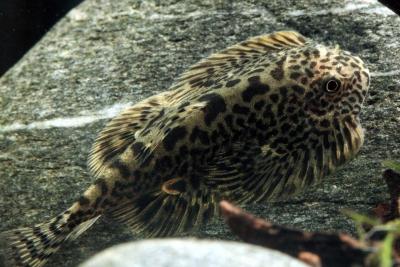 Sewellia speciosa Balitoridae
