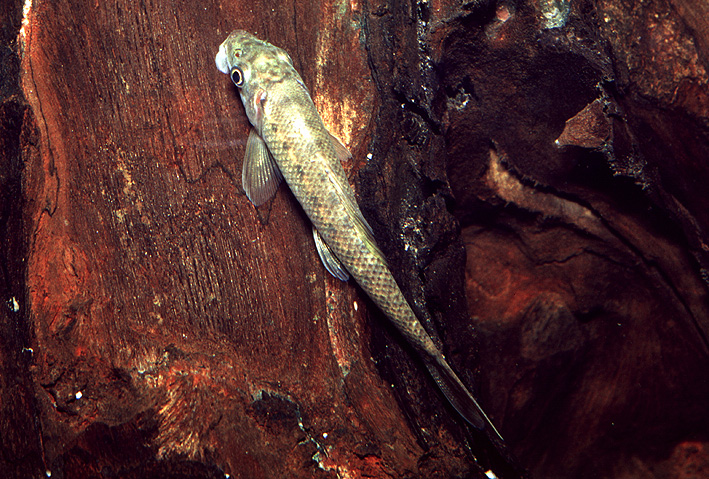 Gyrinocheilus aymonieri - Gyrino