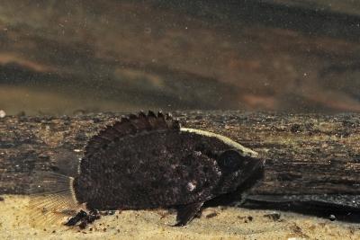 poisson-feuille guyanais Polycentridae
