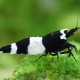 """picture of Caridina sp """"Black-Shadow-Double-Banded"""""""