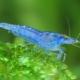 """picture of Neocaridina davidi """"Blue Jelly"""""""