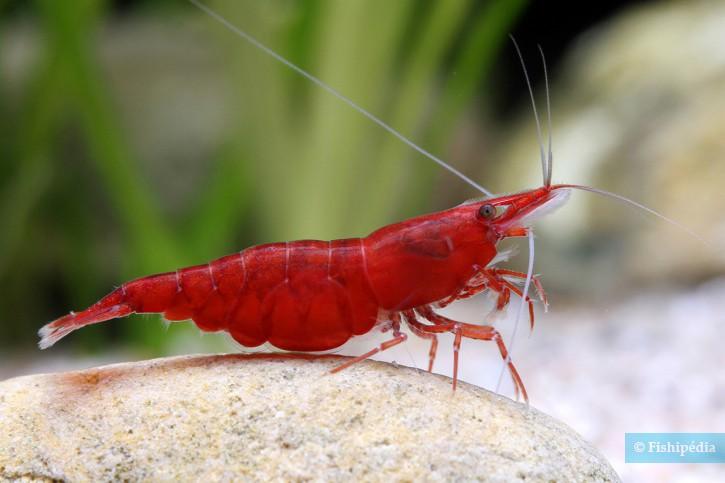 """Neocaridina davidi """"Red Cherry"""" - red cherry"""
