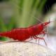 """picture of Neocaridina davidi """"Red Cherry"""""""