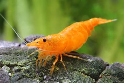 "Neocaridina davidi ""Orange"" Atyidae"