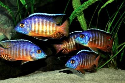 Aulonocara hueseri Cichlidae