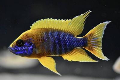"""Aulonocara jacobfreibergi """"mamelela"""" Cichlidae"""