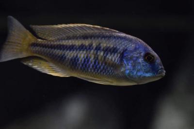 Chilotilapia rhoadesii Cichlidae