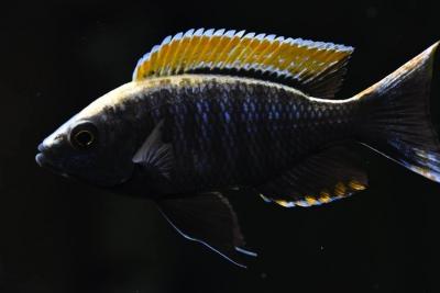 "Copadichromis sp. ""firecrest mloto"" gome Cichlidae"