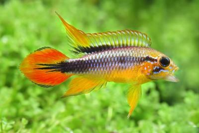 Apistogramma agassizii Cichlidae