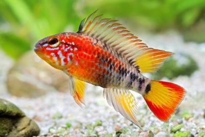Apistogramma macmasteri Cichlidae