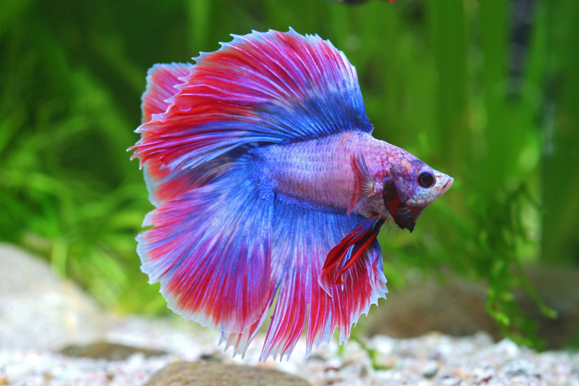 Combattant betta splendens combattant fiche poisson for Poisson combattant aquarium
