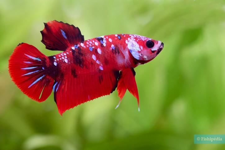 Betta splendens - poisson combattant