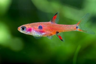 rasbora nain Cyprinidae
