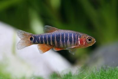Danio émeraude Cyprinidae