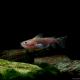 picture of Asterophysus batrachus
