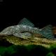 picture of Chaetostoma joropo