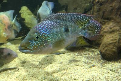 Cribroheros rhytisma Cichlidae