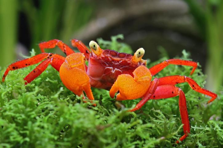 Crabe Mandarin Geosesarma Notophorum