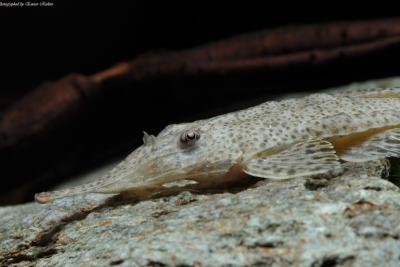 Hemiodontichthys acipenserinus Loricariidae