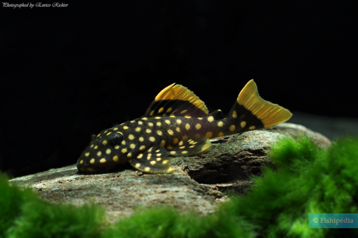 Baryancistrus xanthellus - Gold nugget
