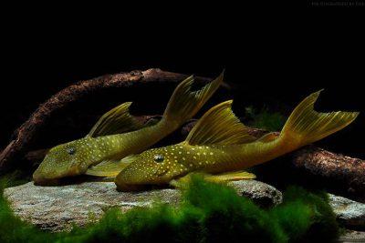 Baryancistrus demantoides Loricariidae