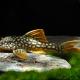 picture of Scobinancistrus aureatus