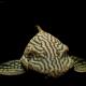 picture of Panaque nigrolineatus