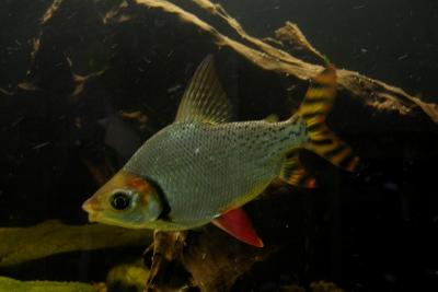 Semaprochilodus taeniurus Prochilodontidae