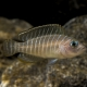 picture of Neolamprologus similis