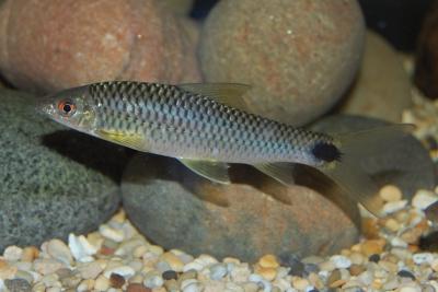 Suceur réticulé Cyprinidae