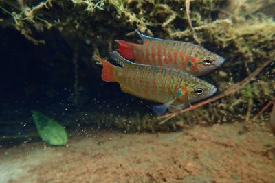 poisson-paradis Osphronemidae