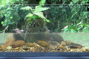 Comment vivent Corydoras et guppys dans la nature ?