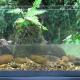 Comment vivent les Corydoras et les guppys dans leur milieu naturel ?