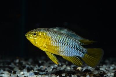 Apistogramma borellii Cichlidae