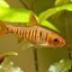 picture of Barbus fasciolatus