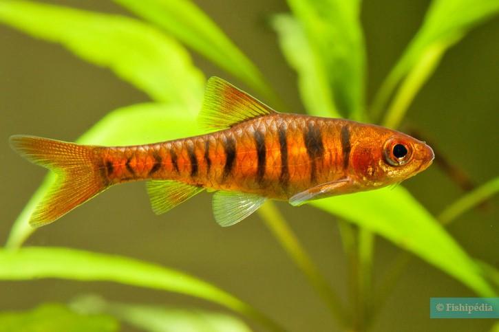Barbus fasciolatus - Barbus rayé