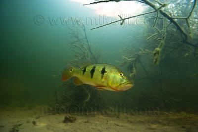 Cichla orinocensis Cichlidae