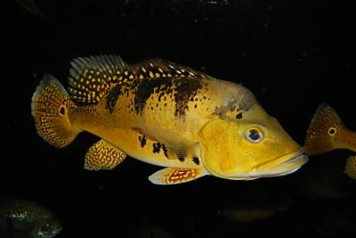 Cichla kelberi Cichlidae