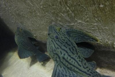 Panaque sp. L191 Loricariidae